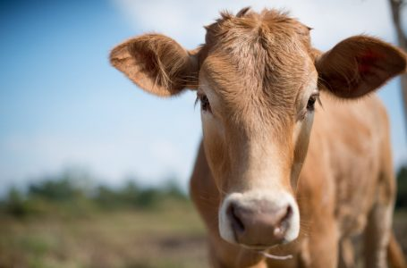 """Mơ thấy con bò đánh con gì để mang đến cơ hội """"đổi đời""""?"""
