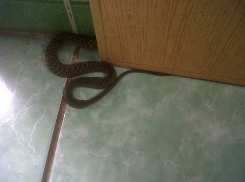 rắn vào nhà